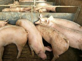 Fliegen sind nicht nur lästig, sie verhindern auch gute biologische Leistungen der Schweine.