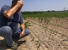 Auf vielen Maisflächen, die von tierischen Schädlingen heimgesucht worden sind, werden in diesem Jahr  nur der Umbruch und eine erneute Einsaat übrigbleiben.
