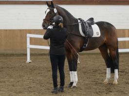 Ausrüsten und Longieren zählen zu den Ausbildungs- inhalten angehender Pferdewirte.
