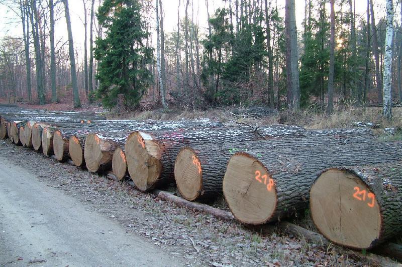 In Sachsen beginnt die Wertholzernte