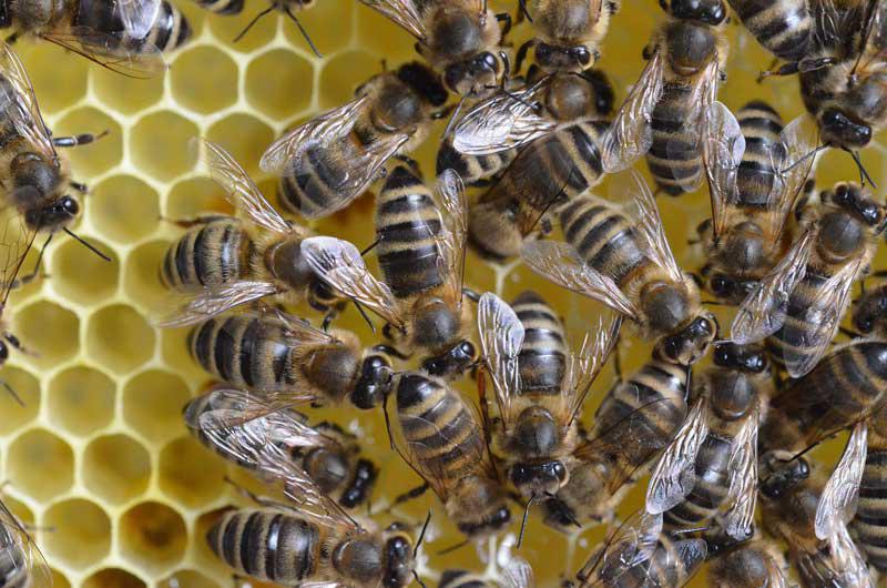 Neonicotinoide schaden Honigbienen