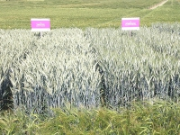Neue Getreidesorten noch ohne Namen