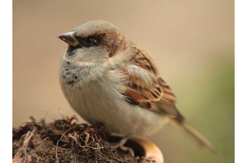 Vogelzählung: Spatz liegt vorn