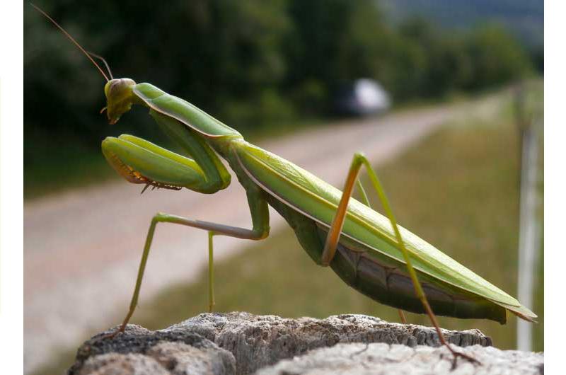 Insekt des Jahres: Die Gottesanbeterin